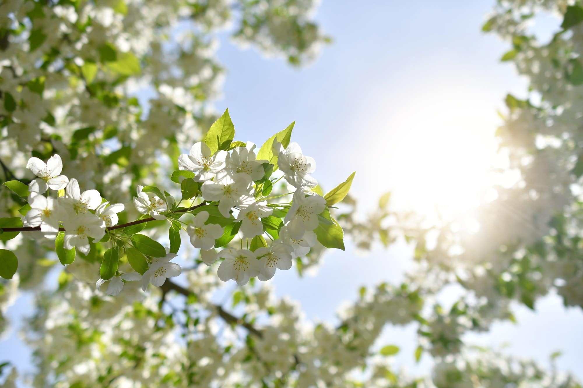 Looking up through white Adirondack crab apple tree blooming in early spring against sunny blue sky